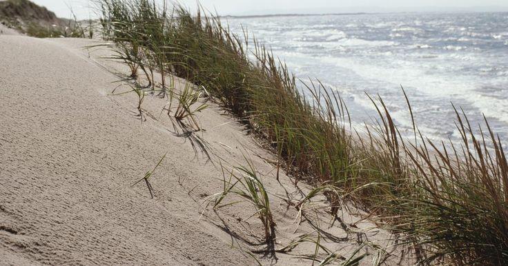 Plantas de la costa del océano. Las plantas a lo largo de la orilla del mar deben tolerar condiciones ambientales cambiantes. Pueden ser sumergidas en el agua salada del océano, o al menos expuestas al rocío del agua salada. Deben soportar vientos constantes del océano y las mareas de tempestad. Existen varios tipos de hábitat costeros y cada uno soporta un grupo diferente de ...
