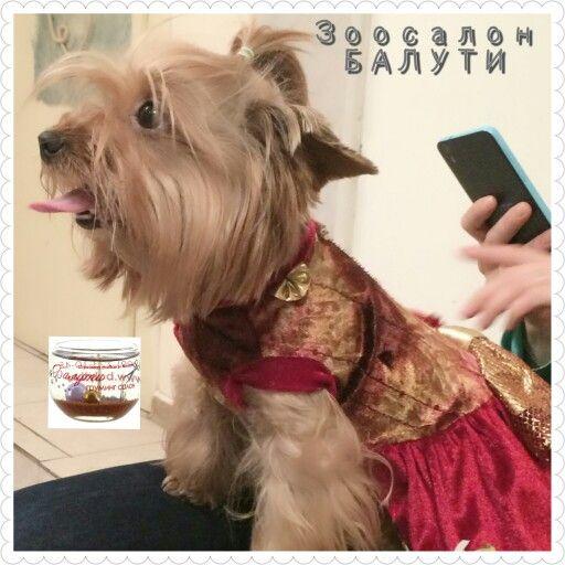 Йорк -Лиза. Пришла к нам в салон Балути м.Варшавская на груминг уход. Комплекс-все включенно. Ждем мастера Яну, пока примери платье) 8 499 723 10 45 С 9.00 до 21.00  www.balyti.ru  Балути - стрижка собак всех пород.  #йорк #той #тойтерьер #чихуахуа #чихуа #мопс #чих #шпиц #пудель #лабрадор #puppy #dog #бишонфризе #щенок #моясобака #люблюнемогу #бивер #хаски #овчарка #доберман #брабансон #грифон #гриффон #далматинец #далматин #зоосалон #болонка #мальтез #бриар #animals #парк #лето