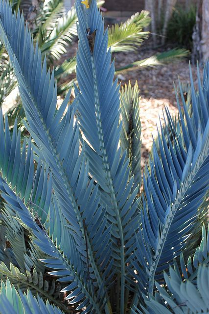 Encephalartos princeps: A rare South African plant that is estimated to be worth R80 a cm. i am a extreme cycad collector and own well over 200 different kinds of cycads.