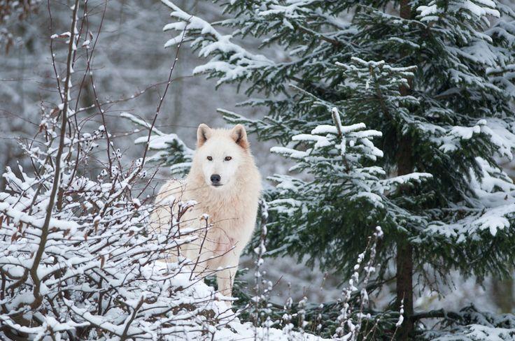 loup blanc sous la neige  au parc de sainte-croix par http://photographika.fr
