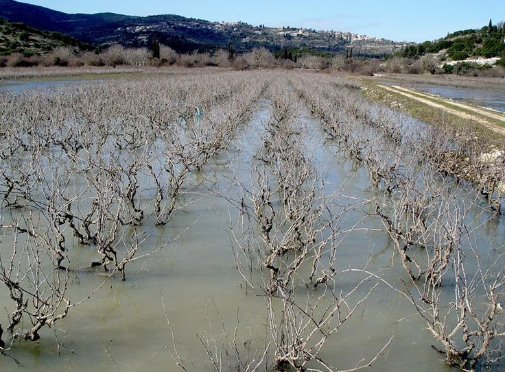 Aμπέλια -Vineyard