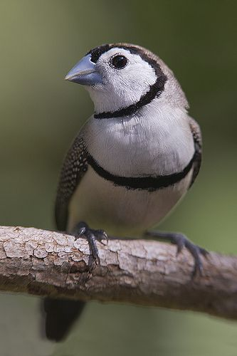 Double Barred Finch (Taeniopygia bichenovii)