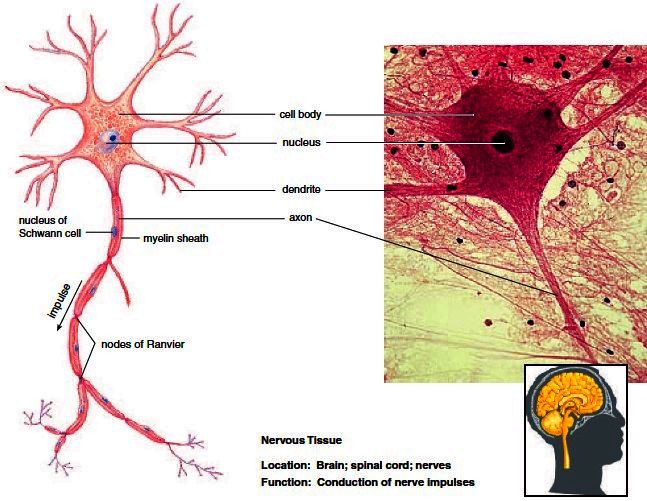 nervous tissue. neurons are surrounded by neuroglia, such ... diagram of nerve tissue #13