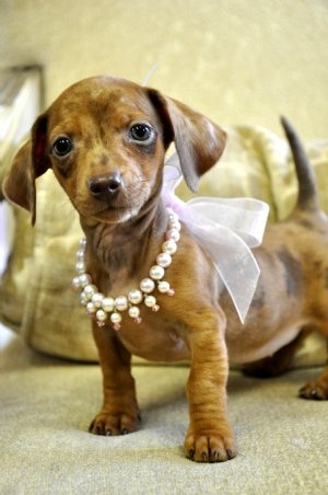 Mini Dachshund Chocolate Dapple Female What a princess...love the pearl necklace