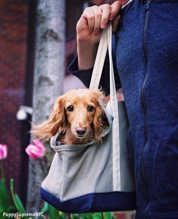 Pin By Tony Defoe On All About Doxies Weiner Dog Golden Retriever Dachshund
