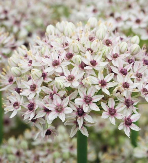 I've been on the lookout for a white allium for years, but all the ones I've grown seemed a bit murky and grey to me. Until this one - Allium 'Silverspring' has clear white petals around purple centres. I love it.