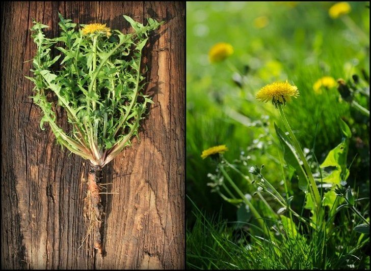 How To Harvest Dandelion Roots 7 Ways To Use Them Herbs Dandelion Plant Lemon Tree From Seed