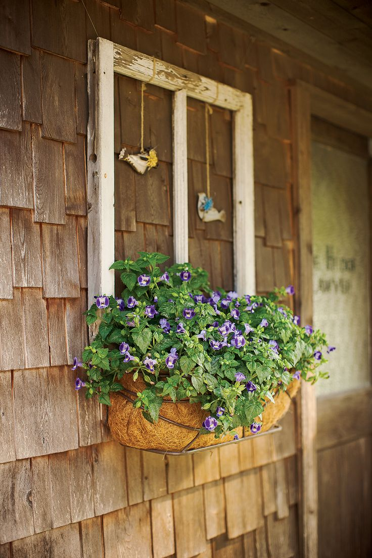 Catalina Midnight Blue Torenia Is The Focal Point On This Covered Porch Wall.  A Stunning Plant In Even Full Shade, With Bi Color Wide Open Blooms.