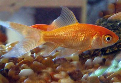 Comet belongs to the variety of most common fancy goldfish. Their appearance is similar to the common goldfish but they are slightly slimmer and smaller. They are easily distinguished by their long forked tail.