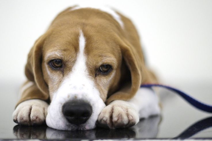 Uno the Beagle ~ Westminster Dog Show winner 2008 ~ Our beagle Riley's dad and the father of Uno are from the same litter