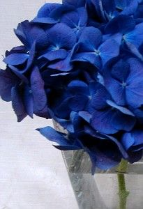 Dark blue hydrangea (sprayed navy). Will be the base of the bridesmaid bouquets, my bouquet, and B's bout.