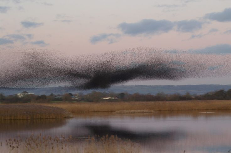 A murmuration of Starlings on the Somerset Levels, UK.....looks like a bird of birds!
