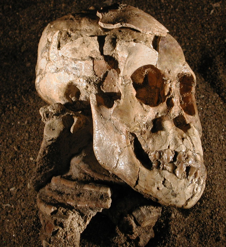 """Selam, a 3.3-million-year-old human ancestor (Australopithecus afarensis specimen) from Ethiopia. She is known as """"The World's Oldest Child"""", because she is the oldest known fossil of a child. The skeleton comprises almost the entire skull and torso and many parts of the limbs. The features of the skeleton suggest adaptation to walking upright as well as tree-climbing."""