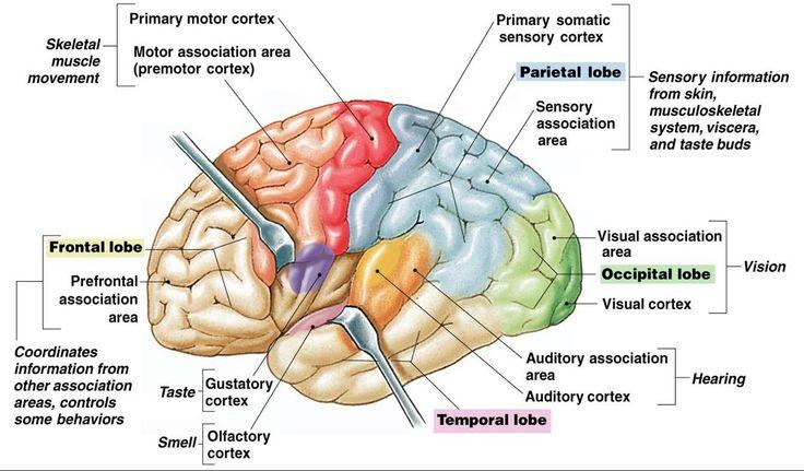gustatory cortex lobe - Yahoo Search Results