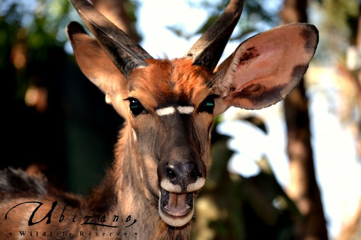 One of the male Nyalas that are found walking in and around Tree Lodge, Pulling faces at the camera.
