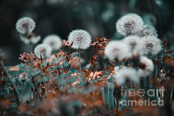 White Marvels. Nature in Alien Skin by Jenny Rainbow. #Dandelions #Meadow #Nature #Grass #NatureInAlienSkin #JennyRainbowFineArtPhotography #FineArtPrints #Beauty #NaturalBeauty #JapaneseStyle