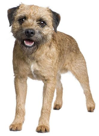 Border Terrier - affectionate, independent, active, and protective --- it's Carl Axl!