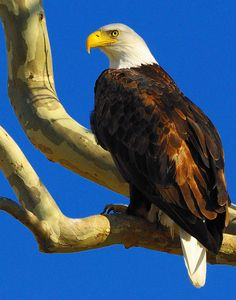 This article give all the scoop on the top 10 places to watch bald eagles in Oklahoma.