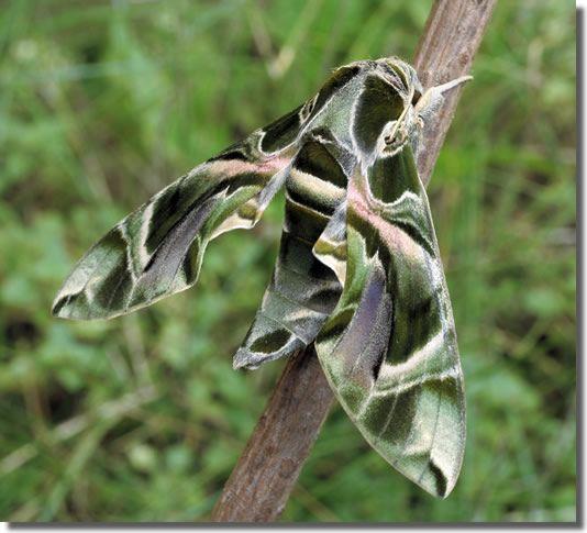 oleander hawk moth: Wonder Moth, Natural Wonder, Oleander Hawks Moth, Hawks Moth Daphni, Wings Wonder