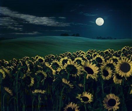 how romantic #sunflowers #flower #nature #moonlight #moon #night #field