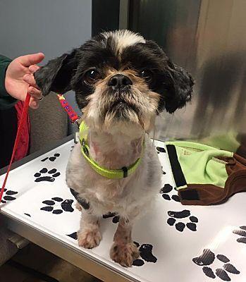 west berlin, NJ Shih Tzu. Meet Matt a Dog for Adoption