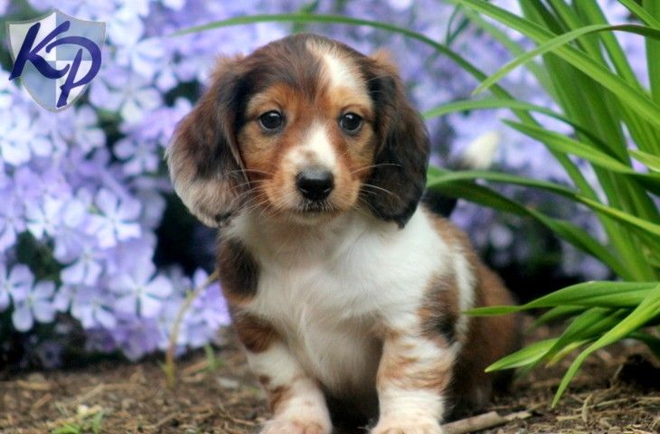 Nick – Dachshund – Miniature Puppies for Sale in PA | Keystone Puppies