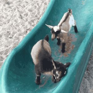 Baby goat slide and fall. [video] @Moon Dance Dairy