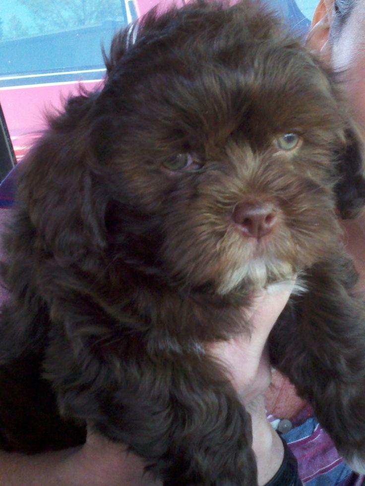 chocolate maltipoo puppies - photo #16