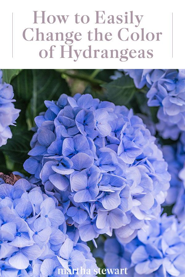 How To Change The Color Of Your Hydrangeas In 2020 Hydrangea Care Types Of Hydrangeas Hydrangea
