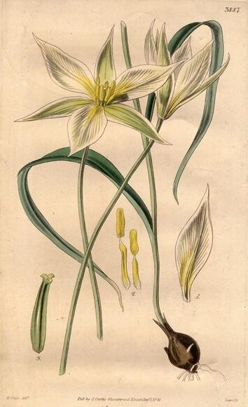White Tulip [botanical drawing]. Tulipe: Elle est rattachée aux déclarations d'amour, à l'amour parfait. Elle est également apparentée à la richesse et la beauté.