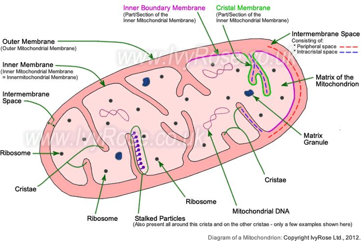 Diagram of the structure of a mitochondrion (for page about the structure of mitochondria)