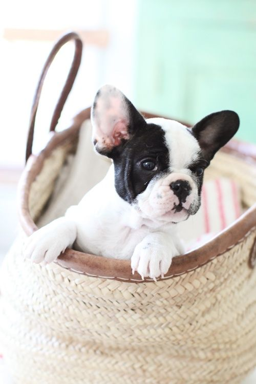 so cute puppy in the basket