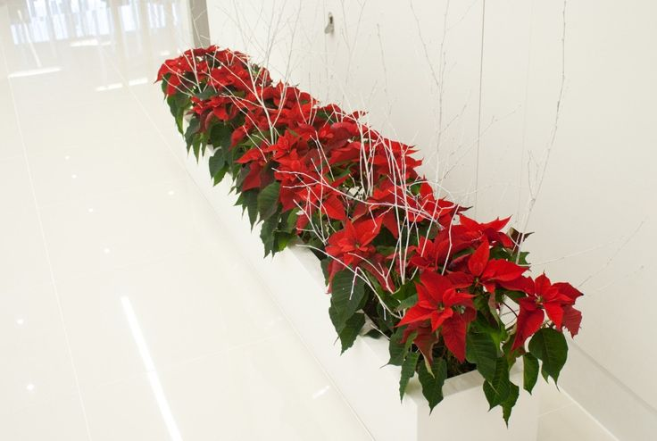 Christmas Poinsettia trough display