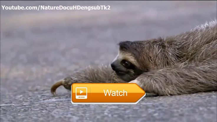 Cute Animals A Tiny Orphaned Sloth Named Velcro Wild Sloth Documentary  Subscribe my channel to update the lastest documentary Meet the Sloths Animal Planet and Animal Planet HD Meet the Sloths  on Pet Lovers