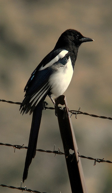 Eurasian Magpie..lovely coloration