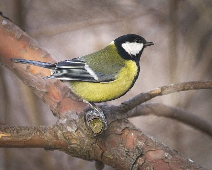 Listen to Eurasian Great Tit on british-birdsongs.uk, which is a comprehensive collection of English bird songs and bird calls.
