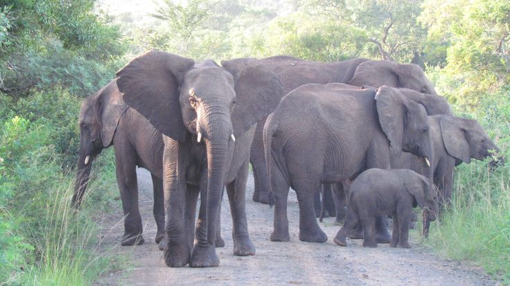 Hluhluwe-iMfolozi Park. Delayed by a herd of elephants moving along the road. Almost didn't make it to the gate before park closing time!