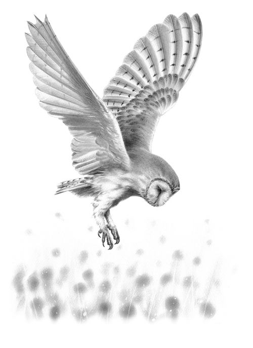 'Barn Owl in Flight II' Original Drawing