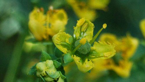 Aprovechando las priopiedades de una planta curativa por excelencia: Infusión de Ruda