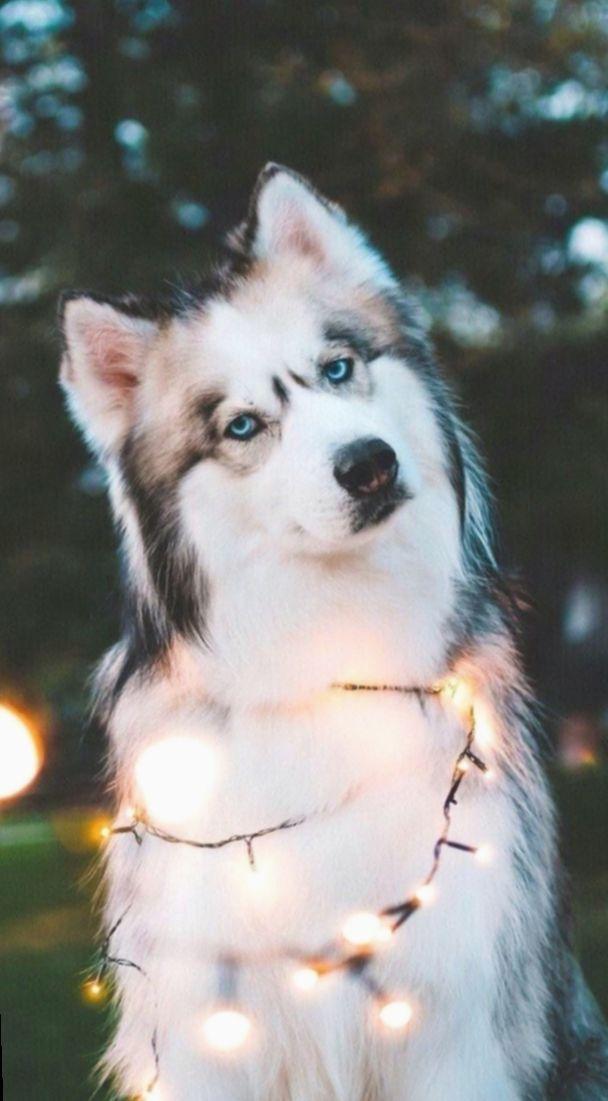 10 Cute Puppies Wallpaper Blue Eyes Cute Puppy Wallpaper Puppy Wallpaper Cute Husky Puppies