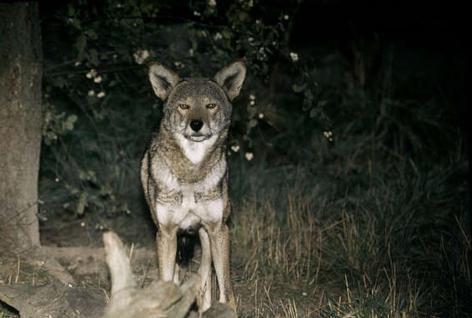 de rode wolf was in 1980 uit gestorven in 1987 zijn er acties geweest en is er 1groep wolven gekomen in north Carolina  en is nu nog steeds ernstig bedreigd en weegt 18 tot 40 kilo en eet konijnen en wasberen en beverratten