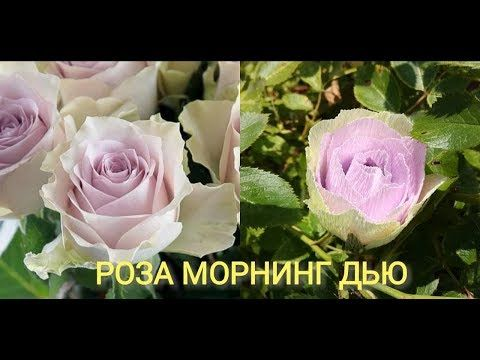 Мастер класс по изготовлению конфетной розы Морнинг Дью - YouTube
