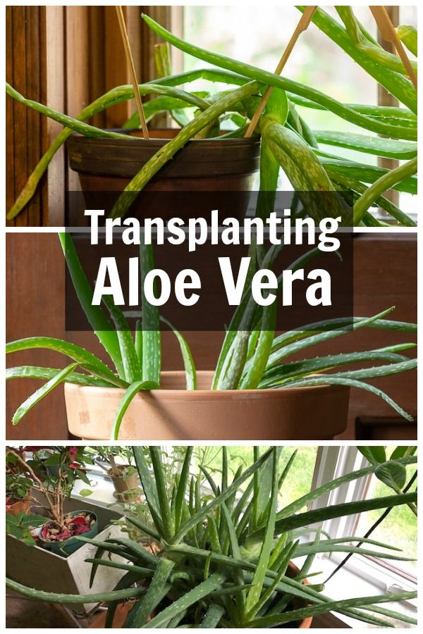 Transplanting Aloe Vera When It S Way Out Of Control Aloe Plant Aloe Vera Plant Plant Care Houseplant