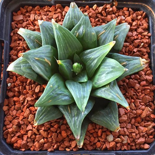 Haworthia quimutica (Diekloof, South Africa)