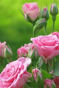259 best lovely pink images on pinterest beautiful flowers pink beautiful roses pink and green photo mightylinksfo