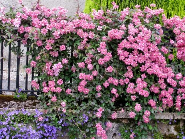 Clematis montana Broughton Star Rich Pink Semi Double Flowers Plant on Rails in Late Spring
