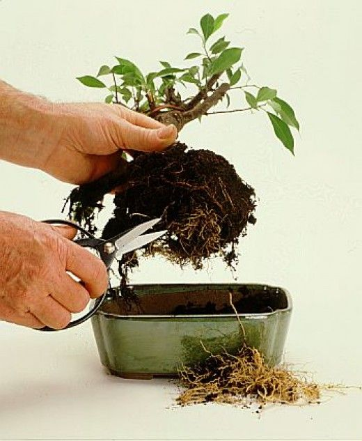 All you want to know about bonsai containers, types of soil, how to pot bonsai and also learn re-potting techniques.