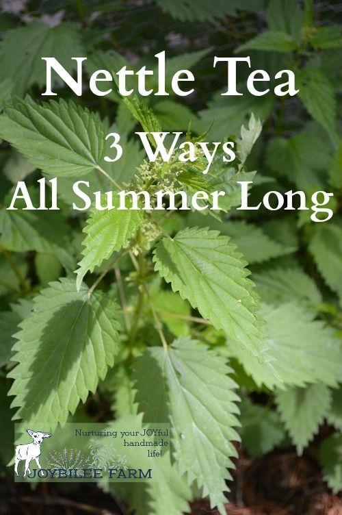 Nettles are a nutritive herb that can be taken freely. Nettle is rich in chlorophyll. They are a significant source of vitamin C, D, and A. The nettle is 20% minerals including calcium, silicon, potassium, chromium, phosphorous, magnesium, and zinc.