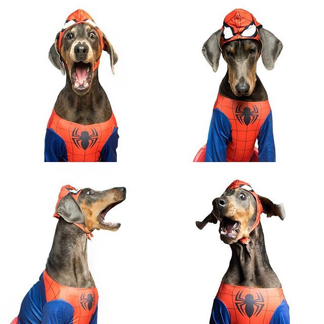 Spider-dog!!  Regram from @oscarandreu8 #doberman  #mansbestfriends #instadoberman #marvel #disfraces #costumes #spiderman #superheroes#dogs #funnydogs #Funidelia
