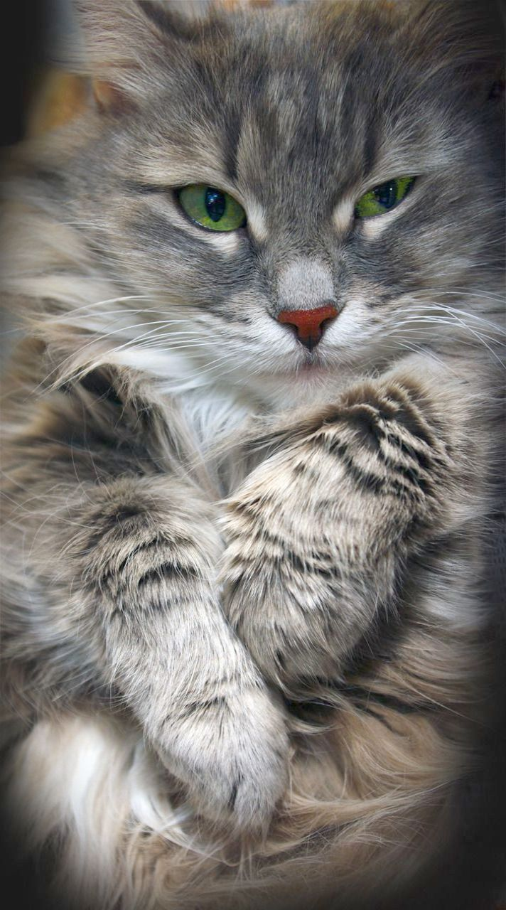 Impressive Beautiful Cats For Sale In Lahore Follow Cute Cats Cats Beautiful Cats